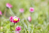 Pink daisy flowers grow in the garden — Stock Photo