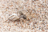 Big brown spider on sand with its egg — Stock Photo