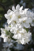 White blossoms of a blooming apple tree — Stok fotoğraf