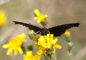 Big black butterfly on a yellow flower — Stock Photo