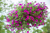 Beautiful petunia flower — Stock Photo