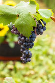 Red wine grape — Stock Photo