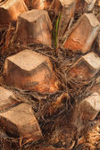 Bark of an old palm tree — Stock Photo