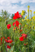 Field of poppies and rapeseed against blue sky — Stock Photo