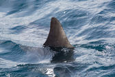 Shark fin above water — Stock Photo