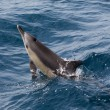Common Dolphins swimming in the ocean — Stock Photo