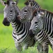 Zebra family - Stock Photo