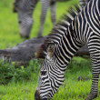 Zebras grazing - Stock Photo