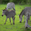 Zebra family and calf - Stock Photo