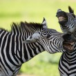 Zebras socialising — Stock Photo