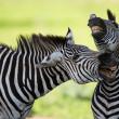 Постер, плакат: Zebras socialising