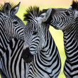 Zebras socialising and kissing - Stock Photo