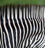 Zebra neck pattern — Stock Photo