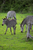 Zebra family and calf — Stock Photo