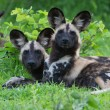 African Wild dog — Stock Photo #18657747