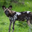 Stock Photo: AfricWild dog