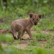 Stock Photo: Baby lion cub