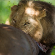 WIld Lion eating a buffalo in Africa — Stock Photo #19241613