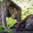 Royalty-Free Stock Photo: WIld Lion eating a buffalo in Africa