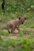 Baby leeuw cub — Stockfoto