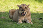 Lejoninna i den vilda, afrika safarin — Stockfoto