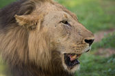 Lion portrait in Africa — Foto Stock