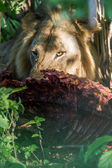 WIld Lion eating a buffalo in Africa — Stock Photo