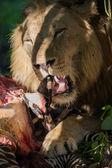 ライオン食べるシマウマ — ストック写真