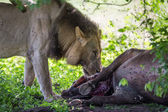 WIld Lion eating a buffalo in Africa — 图库照片