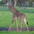 Stock Photo: Giraffe in ZambiSafari