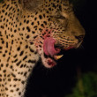 Wild leopard with a kill at night — Stock Photo #20040945
