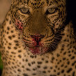 Wild leopard with a kill at night — Stock Photo
