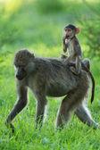 Apor i afrika, zambia, safari — Stockfoto