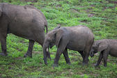 Wild elephant herd in Africa, Zambia Safari — Stock Photo