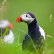 Stock Photo: Atlantic Puffins in Iceland