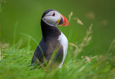 Atlantic Puffins in Iceland — Stock Photo