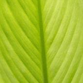 Hoja verde como fondo — Foto de Stock