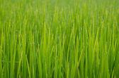 Jasmine rice crop in morning time — Stock Photo