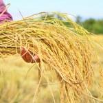 Farmer is hold harvested jasmine rice — Stock Photo