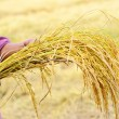 Farmer is hold harvested jasmine rice — Stock Photo #15679381