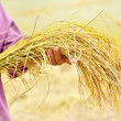 Farmer is hold harvested jasmine rice — Stock Photo