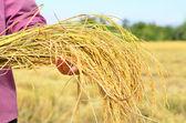Farmář je hold sklizené jasmínová rýže — Stock fotografie