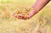 Jasmine rice seed in farmer hand — Stock Photo