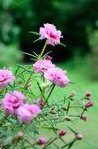 Gemeenschappelijke postelein roze bloemen — Stockfoto