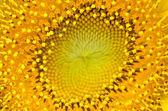 Sunflower with Macro shot — Stock Photo