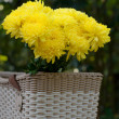 Chrysanthemum, dendranthemum yellow flower on bamboo bucket — Stock Photo
