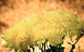 Chrysanthemum, dendranthemum yellow flower — Stock Photo