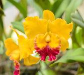 Цветок орхидеи Каттлея желтый — Стоковое фото