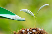 Giving chemical (Urea) fertilizer to young plant over green back — Stock Photo