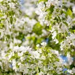 White Blossoms Of Apple Tree — Stock Photo #40009453